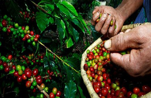 Columbian Bean Lillo Caffe