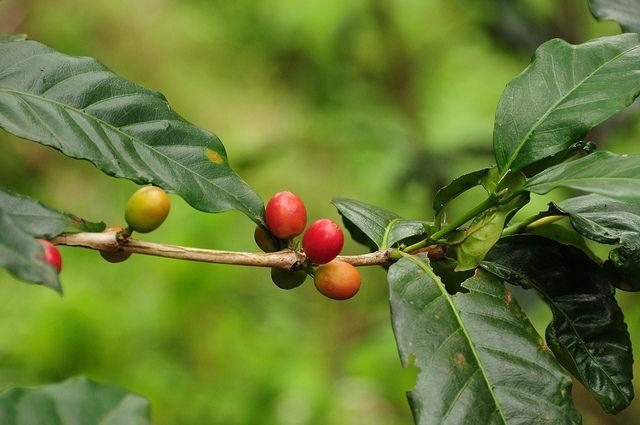 Tanzania bean Lillo Caffe